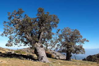 Quejigo tree/ portugues mountain oak