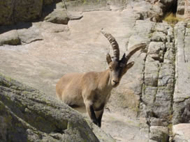 Cabra Montés - the Spanish ibex